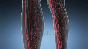 Woman Anatomy Video Science Anatomy Scan Of Woman Heart And Blood Vessels Glowing