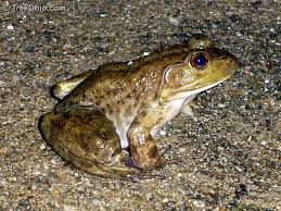 How To Get Rid Of Cane Toads In Backyard Ohio U0027s 15 Species Of Frogs And Toads At A Glance Trekohio