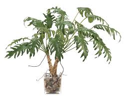 philodendron split leaf philodendron our products