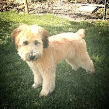 wheaten haircuts soft coated wheaten terrier puppy cut after griffin s first