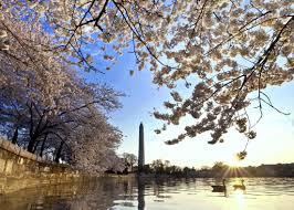 National Cherry Blossom Festival by Cherry Blossoms Will Not Be Rushed Cherry Blossom Festival