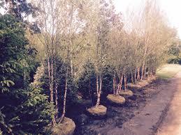 summer 2016 ready to ship shade ornamental trees wholesale
