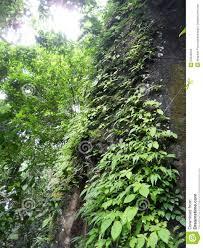 climbing plant on the tree stock photo image 53946042