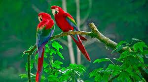green parrots pics wallpaper wallpapers hd free desktop download