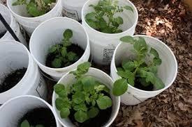jubilee garden u0027s growing potatoes need 5 gallon buckets st