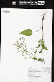 online virtual flora of wisconsin symphyotrichum oolentangiense