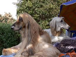 does an afghan hound shed 15 dog breeds that don u0027t bark excessively and will keep your