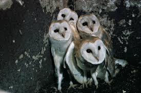 new blog wild stars of winterwatch beautiful barn owls