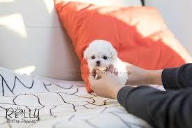 bichon frise for sale cheap puppies u2013 tagged