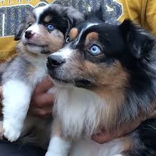 australian shepherd eye color genetics blue eyes