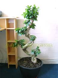 bonsai australian native plants 1 large ficus benjamina weeping fig tree s shape bonsai evergreen