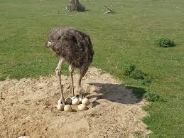 ostrich ize your leadership work in progress coaching