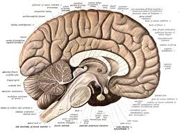 Brain Stem Anatomy What If Any Is The Difference Between The 2014 Quora