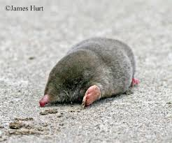 Moles Blind Tennessee Watchable Wildlife Eastern Mole