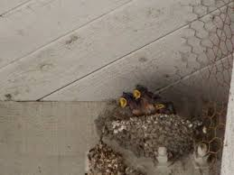 Barn Swallow Nest Pictures Oc Birder Barn Swallow Nesting Time