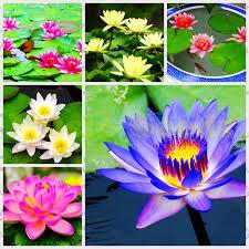 aliexpress com buy 10 pcs aquatic plants flower seeds bowl lotus