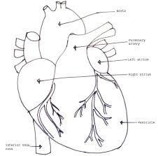 External Heart Anatomy Human Organ Models Biology4isc
