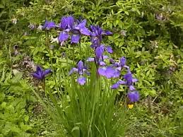 Irises How To Plant Grow by Siberica How To Grow And Care For Your Siberian Iris Plants
