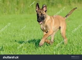 belgian malinois puppies 6 months malinois puppy dog 4 months old stock photo 80500222 shutterstock