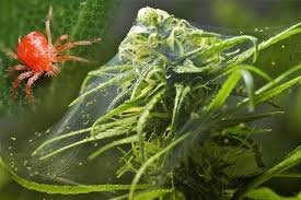 Plant Pests And Diseases - dangerous pests and diseases that could kill your weed u2022 page 4 of