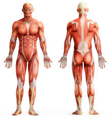 muscles of the human body worksheet edplace