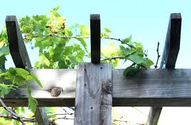 diy grape arbor build grape arbor diy grape vine trellis