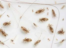 How Long Do Fleas Live In Carpet Why Should I Worry About Fleas And Ticks
