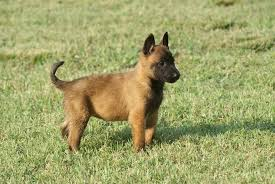 belgian shepherd dog temperament belgian malinois info temperment care puppies pictures training