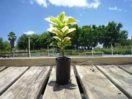 Euonymus Topiary Euonymus Japonicus U0027aureo Marginatus U0027