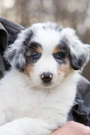 australian shepherd dog puppies australian shepherd australian shepherd dog breeds