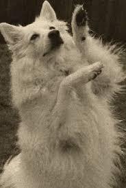 american eskimo dog odor in memory of