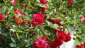 drift roses drift shop flower shrub plant container
