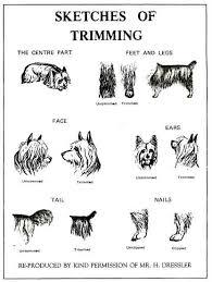 silky terrier hair cut grooming a silkyterrier yorkshireterrier