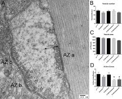 variation in dube3a expression affects neurotransmission at the