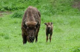 Tierpark Bad Liebenstein Gastbeitrag Der Wisent Der Beutelwolf Blog