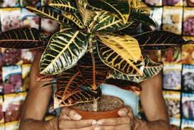 variegated rubber houseplant problems home guides sf gate