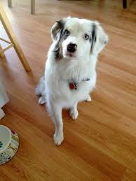 rescue an australian shepherd puppy stella u0027s happy tail and cgc u2013 deaf dogs rock