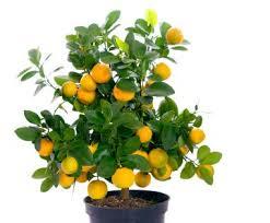 miniature fruit tree lovetoknow
