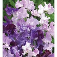 Sweet Pea Images Flower - 20 sweet pea midnight blues seeds 2 50 sarah raven