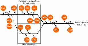 ribosome biogenesis in the yeast saccharomyces cerevisiae genetics