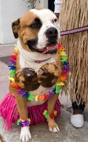 36 best holidays u0026 pit bulls images on pinterest pit bulls
