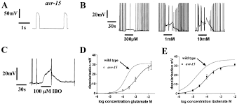 characterization of glutamate gated chloride channels in the