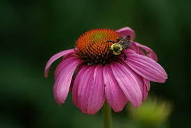 echinacea flower file bee pollinating a flower at the national zoo jpg wikimedia