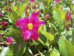 caring for mandevilla vines tips on using mandevilla as a ground