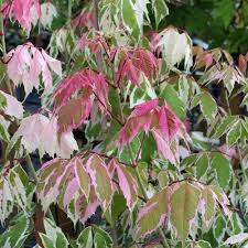 acer flamingo maple tree mail order trees