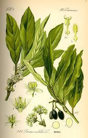 laurier cuisine laurus nobilis wikipédia