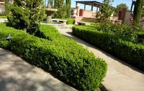 buxus japonica hedge jpg