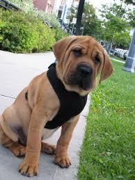puppy thanksgiving ba shar puppy basset hound and shar pei mix for my future