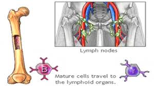 Normal Bone Anatomy And Physiology Immune System Anatomy And Physiology Animation Function And