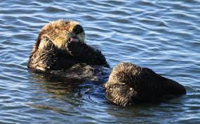 12 facts about otters for sea otter awareness week u s